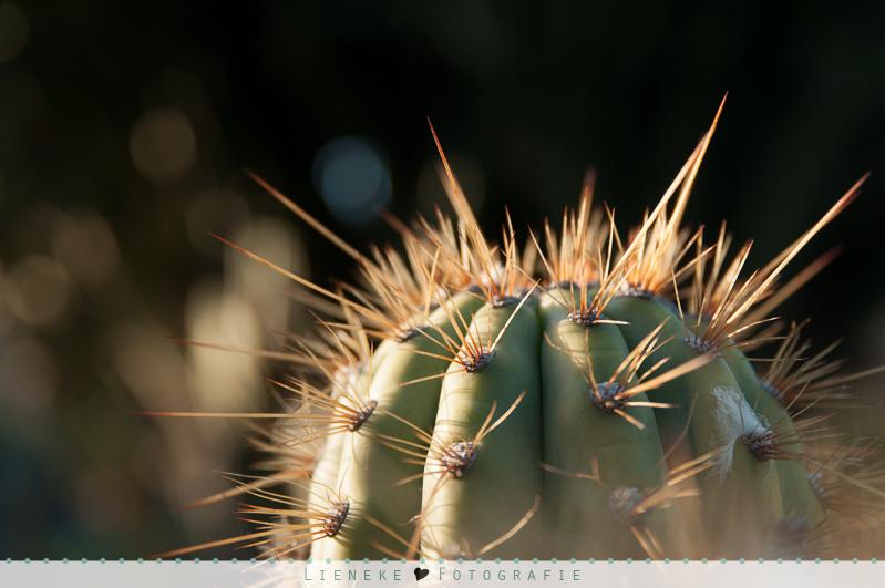 Cactustuin Lanzarote